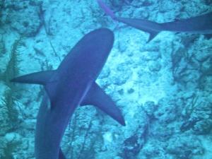 Sharks 014